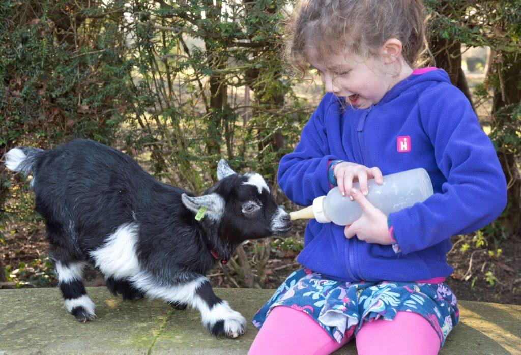 Mygmy goat